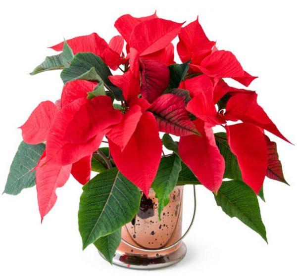 Hoa trạng nguyên mang sắc đỏ thắm, tượng trưng cho sự may mắn, niềm vui.