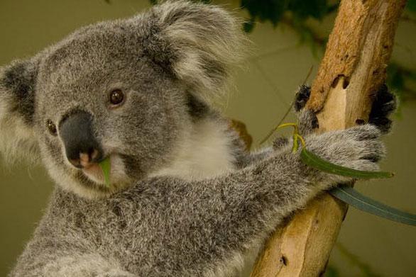 Gấu koala cái chỉ sinh một con mỗi năm.