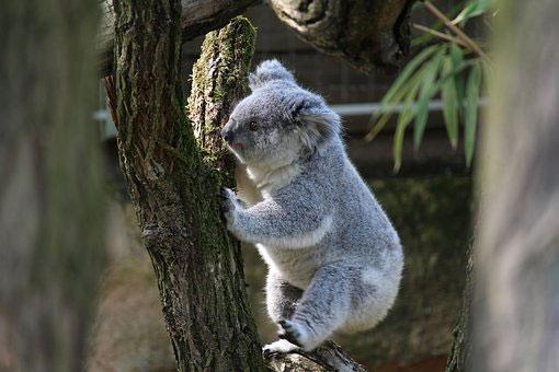 Gấu koala phát triển đầy đủ nhất trong năm thứ tư của cuộc đời.
