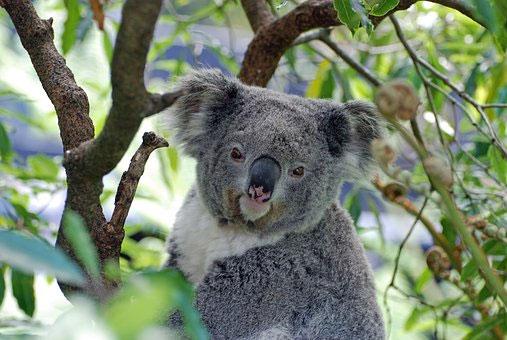 Chiếc đuôi nhiều lông cho phép chúng có thể ngồi thoải mái trên cây nhiều giờ liền.