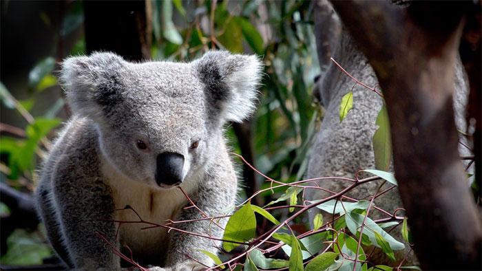Koala bị ảnh hưởng nặng nề nhất do tính chất di chuyển chậm chạp.
