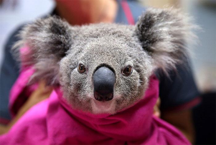 Có tới 30% số gấu Koala đã chết bởi 30% môi trường sống của chúng bị phá hủy nặng nề