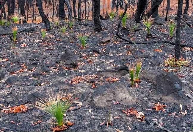 Những bụi cây mọc lại trên nền đất đã cháy đen.