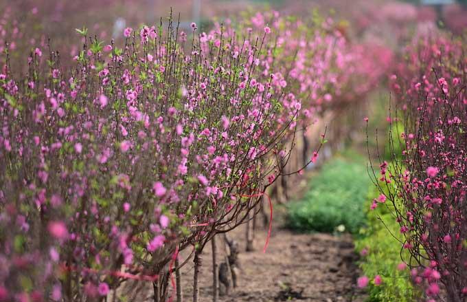 10 ngày nữa mới đến Tết cổ truyền song thời tiết năm nay nắng nóng nên các vườn đào đã rợp màu hoa.