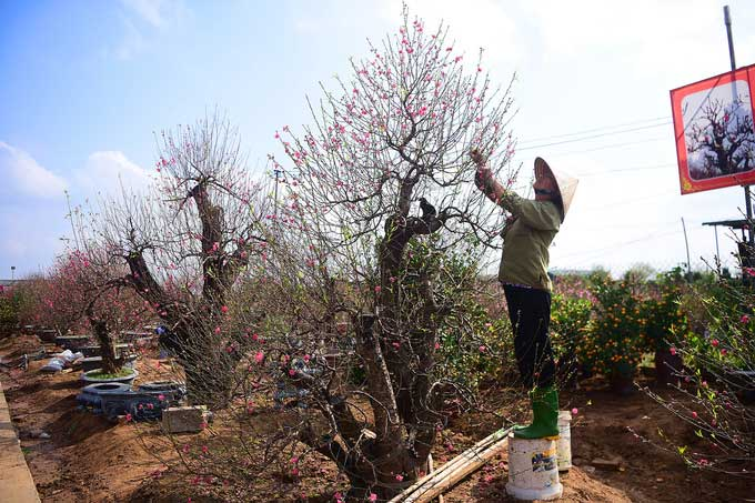 Nhiều gốc đào ở Nhật Tân cao quá đầu người.