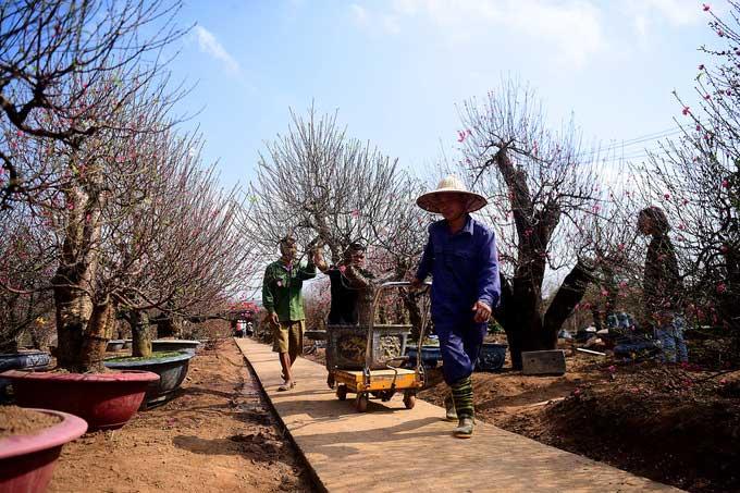 Cây đào có giá cho thuê hơn 10 triệu đồng đang được anh Hiệp - một chủ vườn đưa ra xe