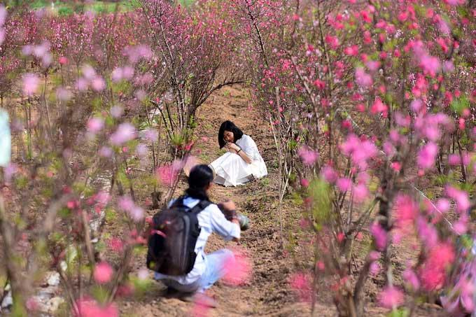 Dịp này một số chủ vườn có thêm nguồn thu từ những người đến chụp hình lưu niệm cùng hoa đào.