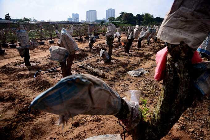 Những gốc đào lớn được chủ vườn ghép mắt từ bây giờ để chuẩn bị cho Tết năm sau.