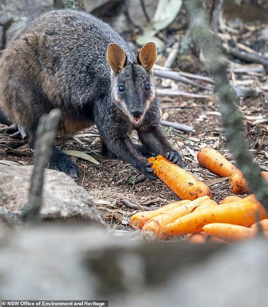 Khoai lang và cà rốt được thả xuống từ máy bay cho chuột túi núi.