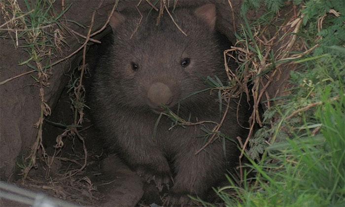 Cấu trúc hang của gấu túi mũi trần có tác dụng chống cháy tốt.