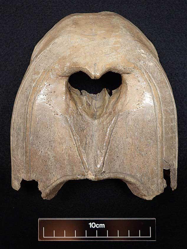 Một hộp sọ của hải mã Greenland đã tuyệt chủng