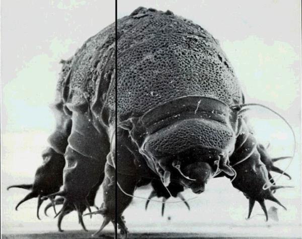 Thực tế bọ gấu nước là một nhóm loài với 900 loài riêng biệt được nhận diện.