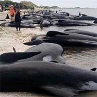 """Vì sao cá voi """"tự sát"""" hàng loạt?"""