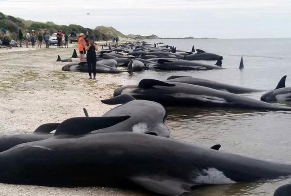 Cá voi tự sát tập thể