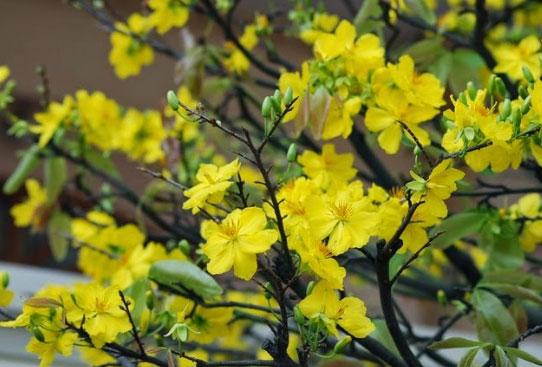 Ngoài thiên nhiên, cây mai tự rụng lá vào mùa Đông và ra hoa vào mùa Xuân