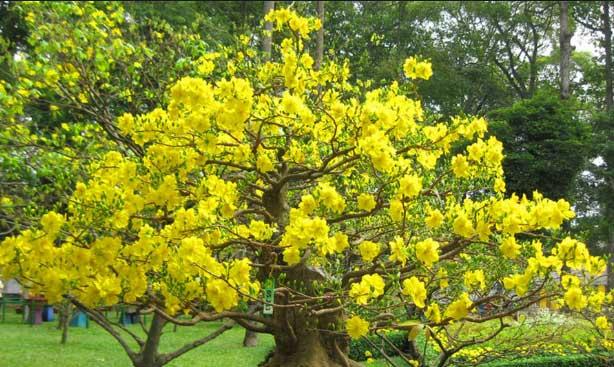 Hoa mai thường mọc ra từ nách lá