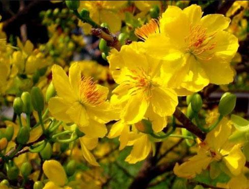 Hoa mai tượng trưng cho phẩm đức nhẫn nại và đức hy sinh cao cả, sự bền bỉ của người Việt Nam.