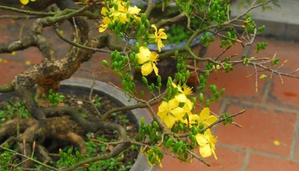 Ở Việt Nam có 8 loại hoa mai.