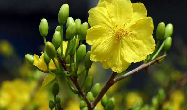 Mai 5 cánh là loại mai vàng mọc phổ biến tại miền Trung và trên dãy trường Sơn, trong những khu rừng già.
