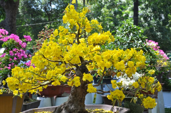 Hoa mai rất được ưa thích vào ngày Tết Cổ Truyền ở miền Nam Việt Nam.