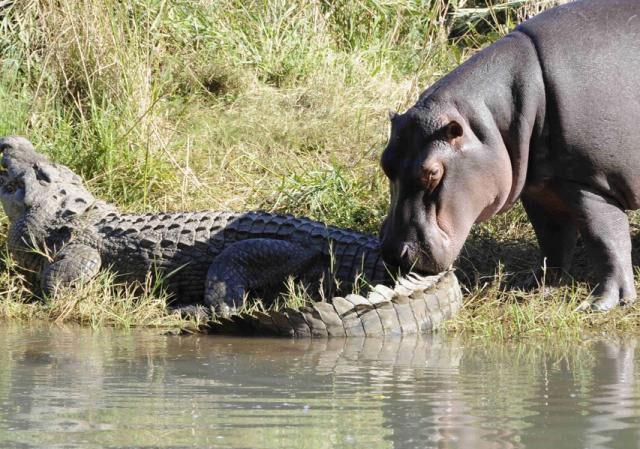 Hà mã sở hữu nhiều vũ khí đáng sợ khiến cá sấu phải dè chừng.