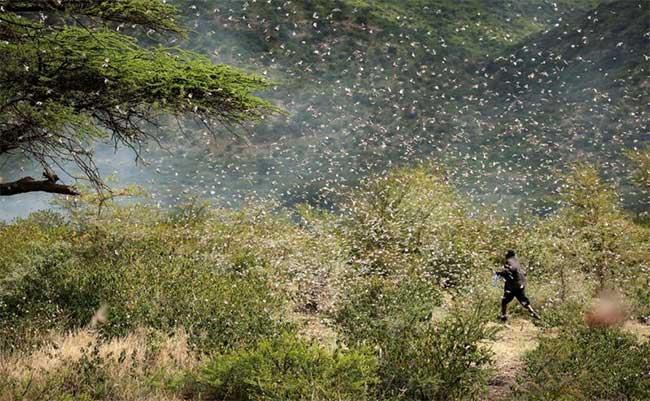 Đợt bùng phát châu chấu sẽ đe dọa an ninh lương thực