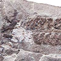 Phát hiện hóa thạch bọ cạp 437 triệu năm tuổi