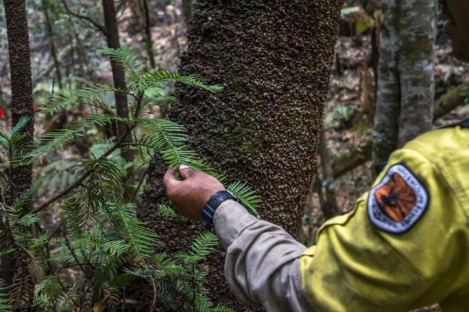 Chỉ còn chưa đầy 200 cây thông còn sót lại