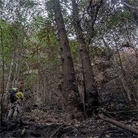 """Bất ngờ với loài cây """"khủng long"""" khiến Úc phải bung toàn lực bảo vệ"""