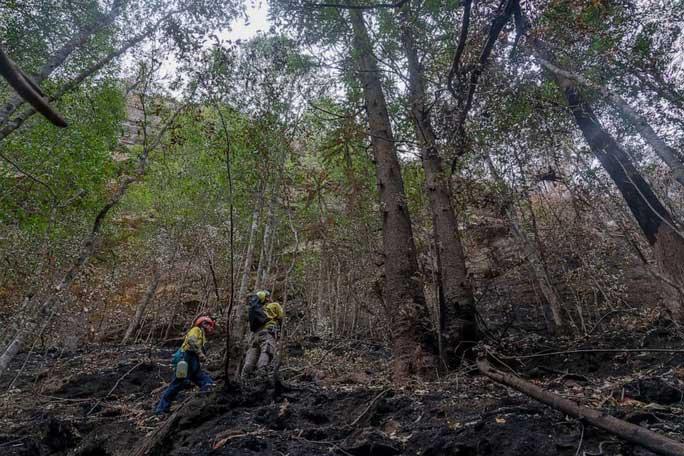 """Lính cứu hỏa giúp giải cứu loài cây có từ thời tiền sử được gọi là cây """"khủng long""""."""