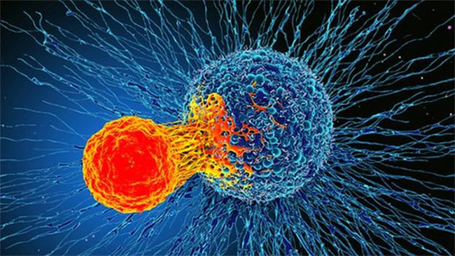 Tế bào T tấn công tế bào ung thư