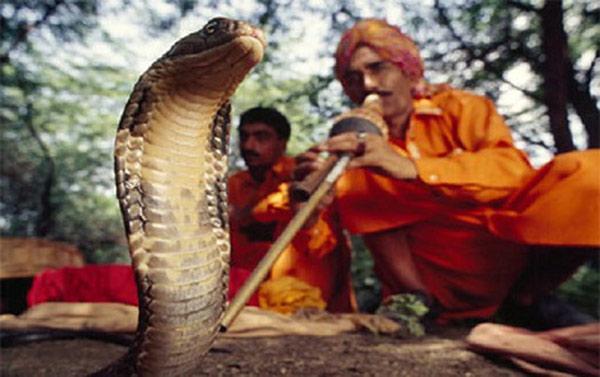 Người thổi sáo điều khiển những con rắn hổ mang uốn mình theo điệu nhạc