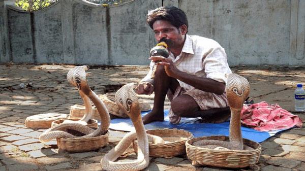 Loài rắn thực chất không hề có tai