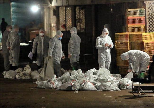 Giới chức Trung Quốc tiêu hủy gà nhiễm virus cúm A/H5N1 trong đợt bùng phát năm 2013.
