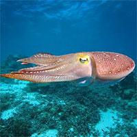 Tìm hiểu về loài mực - cách mà loài thân mềm yếu ớt sinh tồn