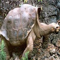 """Tìm thấy hậu duệ của rùa khổng lồ """"George cô đơn"""" đã tuyệt chủng"""