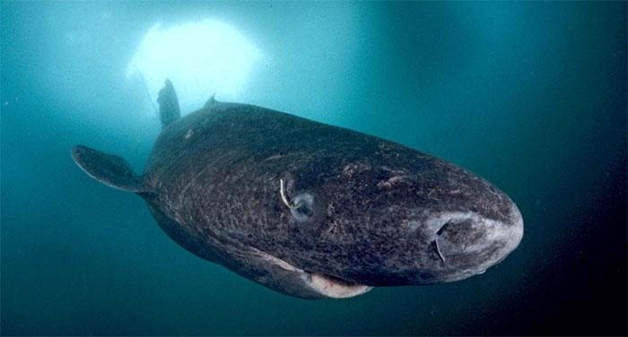Cá mập Greenland