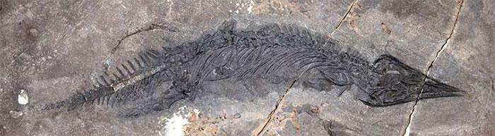 Hóa thạch G. joseeae được phát hiện trên quần đảo Keku, Alaska.