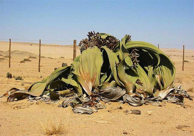 Cây Welwitschia mirabilis