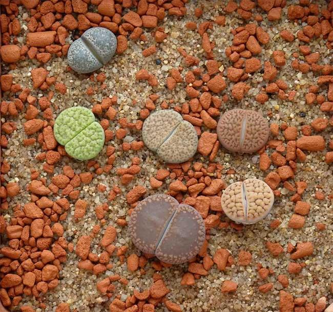 Cây thạch lan đá