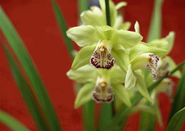 Hoa phong lan Nongke Thâm Quyến