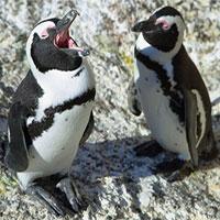 """Chim cánh cụt jackass có """"quy tắc ngôn ngữ"""" giống… loài người"""