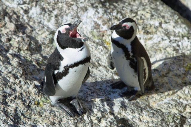 Chim cánh cụt châu Phi sử dụng ba loại âm thanh riêng biệt, gợi nhớ đến âm tiết của con người.