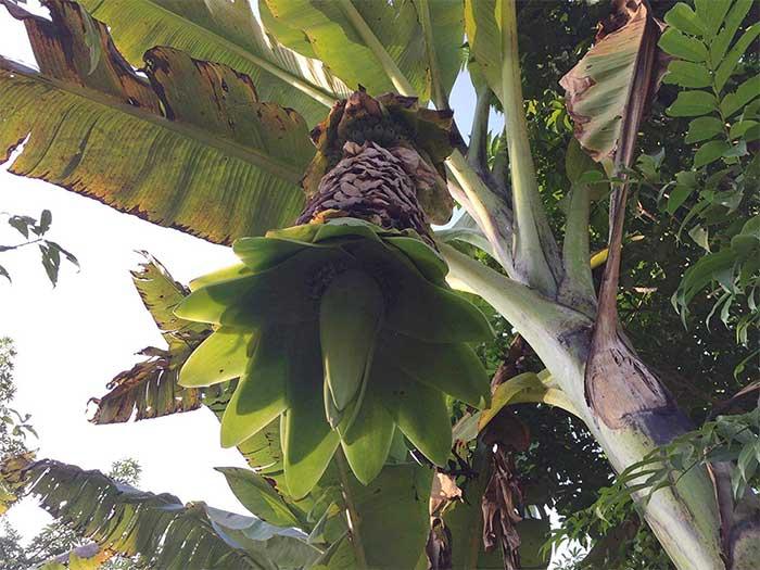 Cây chuối cô đơncó chiều cao 4-5m, đường kính gốc rất lớn