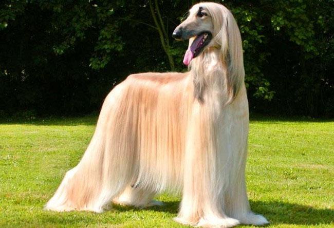 Chó săn Afghan