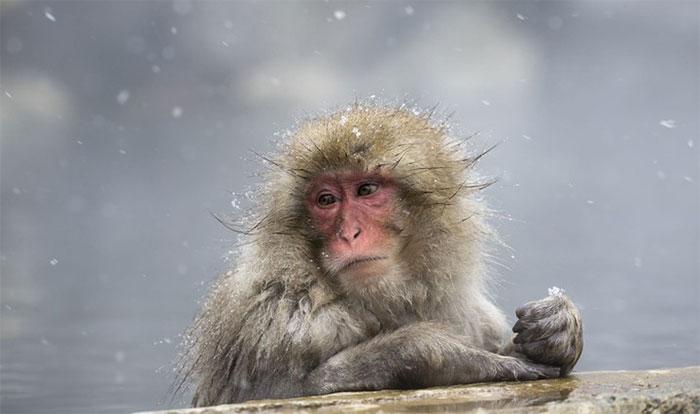 Khỉ tuyết