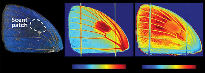 Một lớp chitin dày trên các tĩnh mạch cánh bướm và các mảng mùi hương