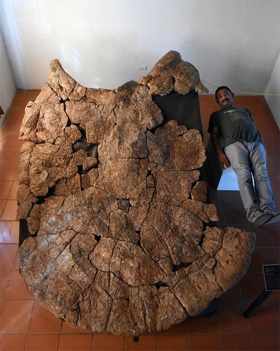 Nhà nghiên cứu sinh vật học Rodolfo Sanchez nằm cạnh một con rùa khổng lồ Stupendemys geographicus