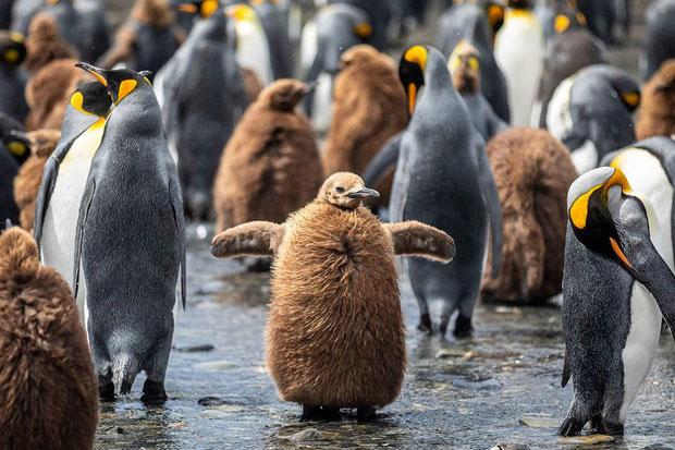 Những con cánh cụt non với bộ lông khác biệt so với con trưởng thành.