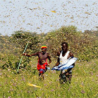 Dịch châu chấu lan tới Nam Sudan